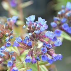 Plicník  - Pulmonaria angustifolia