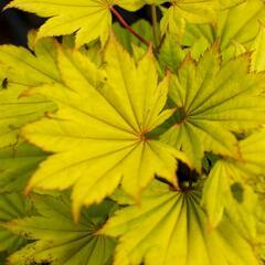 Javor shirasawanský 'Aureum' - Acer shirasawanum 'Aureum'