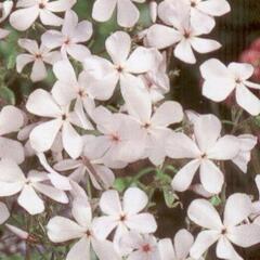 Plamenka rozkladitá - Phlox divaricata