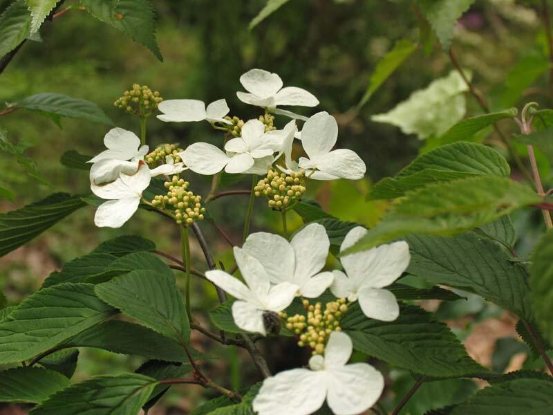 Kalina japonská 'Lanarth' - Viburnum plicatum 'Lanarth'
