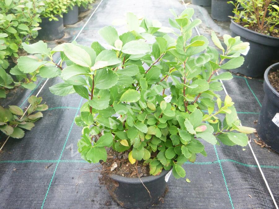 Tavolník břízolistý 'Island' - Spiraea betulifolia 'Island'