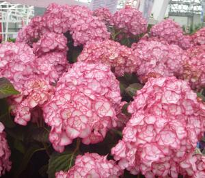 Hortenzie velkolistá 'Miss Saori' - Hydrangea macrophylla 'Miss Saori'