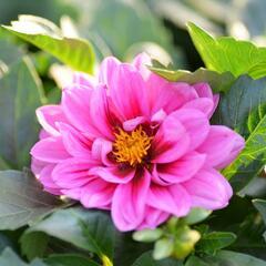 Jiřina 'Dahlietta Lubega Rose Eye' - Dahlia 'Dahlietta Lubega Rose Eye'