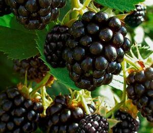 Ostružiník beztrnný 'Navaho' - Rubus fruticosus 'Navaho'