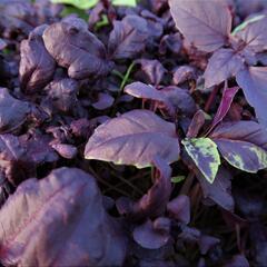 Bazalka pravá kadeřavá červenolistá - Ocimum basilicum 'Crispa Red'