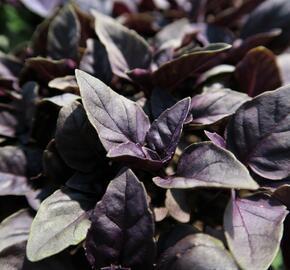 Bazalka pravá červenolistá 'Purple' - Ocimum basilicum 'Purple'