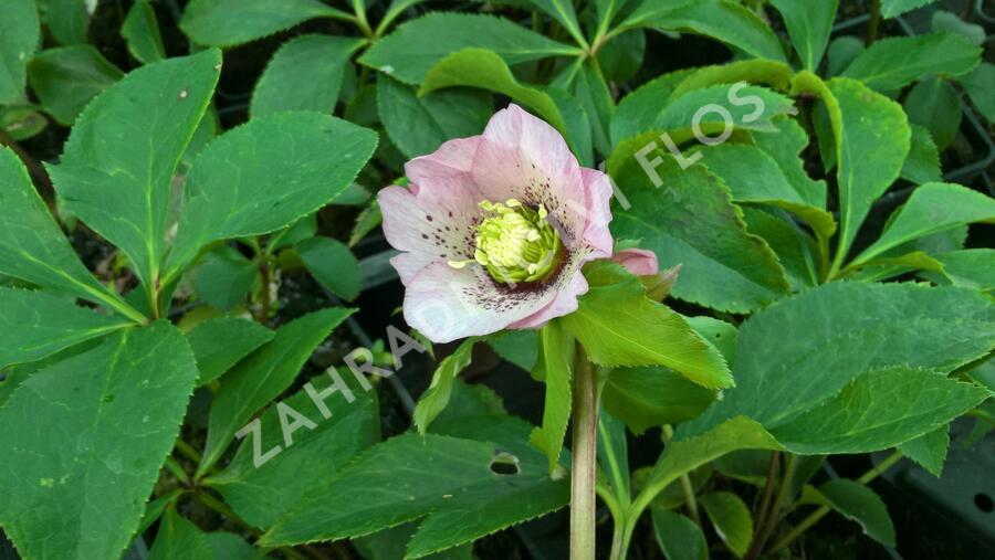 Čemeřice východní 'Pink Spotted' - Helleborus orientalis 'Pink Spotted'
