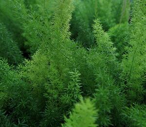 Asparágus 'Meyerii' - Asparagus densiflorus 'Meyerii'