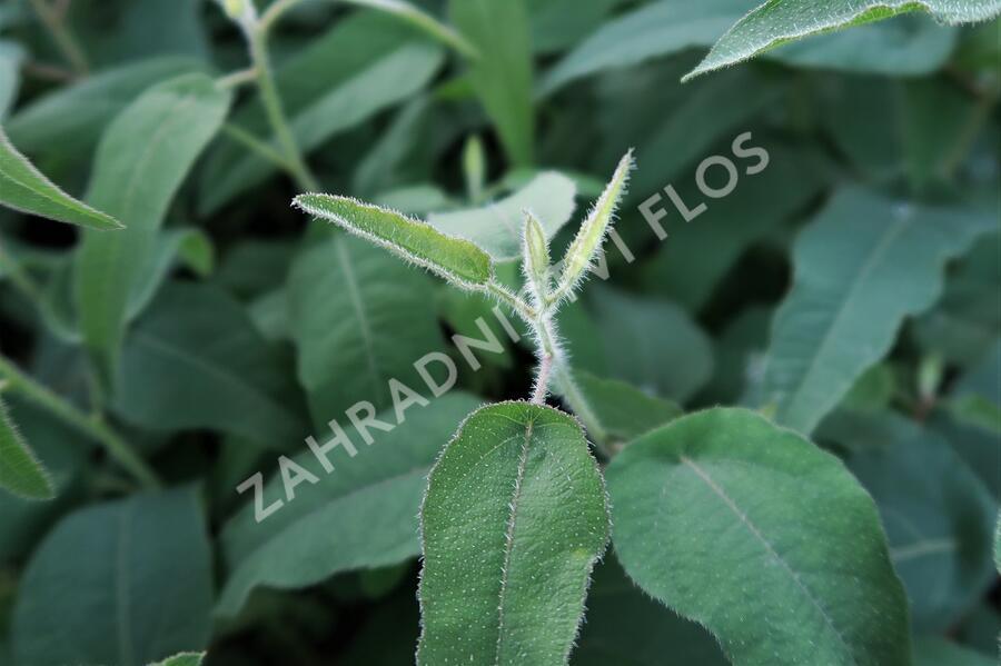 Blahovičník Gunnův 'Lemon Bush - Eucalyptus gunnii 'Lemon Bush'