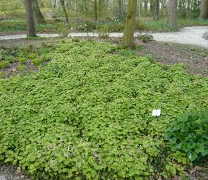 Mitrovnička srdcolistá - Tiarella cordifolia