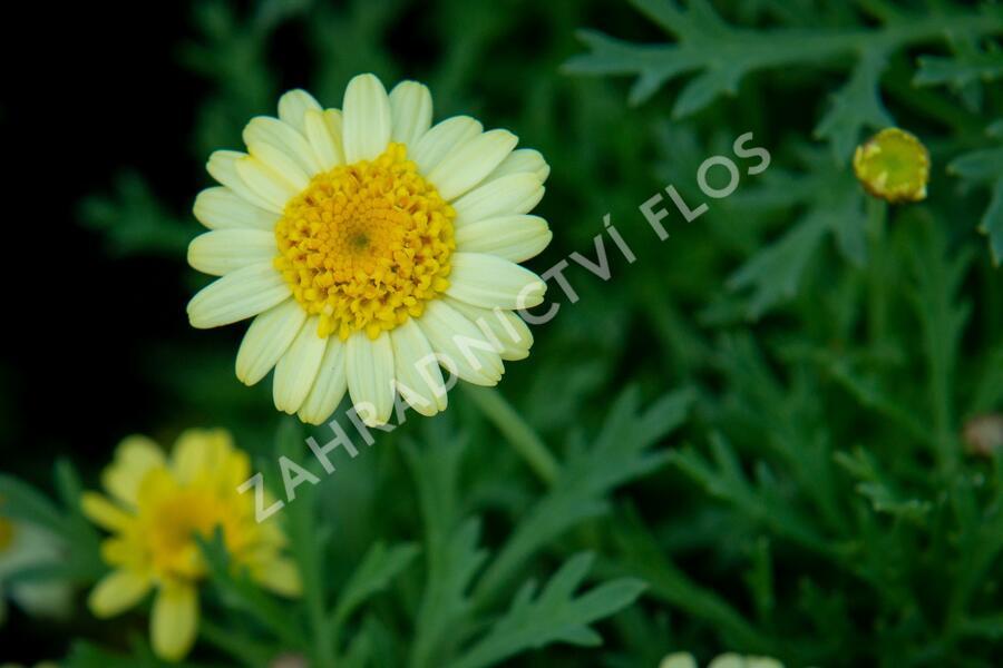 Kopretina pařížská 'Sassy Crested Yellow' - Argyranthemum frutescens 'Sassy Crested Yellow'