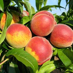 Broskvoň - raná 'Favorita Morettini' - Prunus persica 'Favorita Morettini'