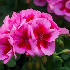 Muškát, pelargonie půdopokryvná 'Calliope Rose Splash' - Pelargonium hybridum 'Calliope Rose Splash'