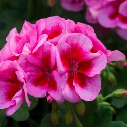 Muškát, pelargonie půdopokryvná - Pelargonium hybridum 'Calliope Rose Splash'