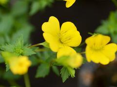 Mekardonie 'Magic Yellow Carpet' - Mecardonia x hybrida 'Magic Yellow Carpet'