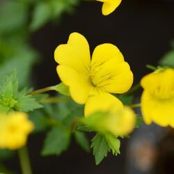 Makardonie 'Magic Yellow Carpet' - Mecardonia x hybrida 'Magic Yellow Carpet'