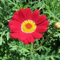 Kopretina pařížská 'Molimba Red' - Argyranthemum frutescens 'Molimba Red'