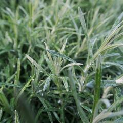 Smil italský 'Kari' - Helichrysum italicum 'Kari'