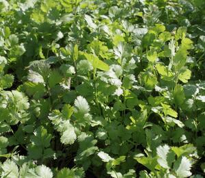 Koriandr setý - Coriandrum sativum