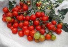 Rajče tyčkové cherry 'Rubinka' - Lycopersicon esculentum 'Rubinka'