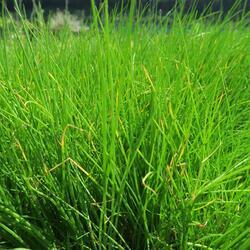 Pažitka pobřežní 'Bohemia' - Allium schoenoprasum 'Bohemia'