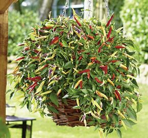 Paprika chilli převislá 'Volante Hot Red' F1 - Capsicum annuum 'Volante Hot Red' F1