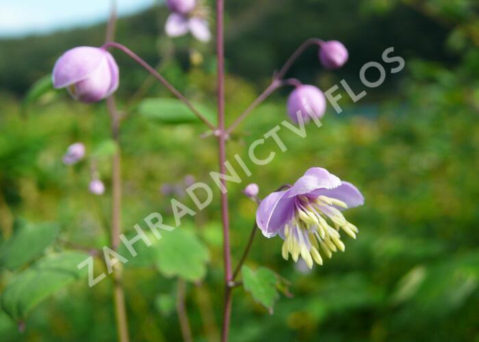 Žluťucha (delavayi) - Thalictrum dipterocarpum (delavayi)