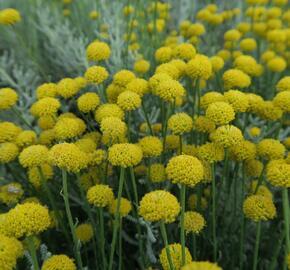 Svatolina cypřišová - Santolina chamaecyparissus