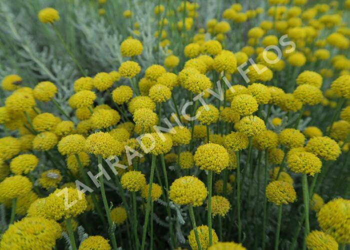 Svatolina - Santolina chamaecyparissus