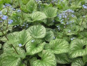Pomněnkovec velkolistý 'Emerald Mist' - Brunnera macrophylla 'Emerald Mist'
