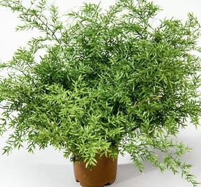 Asparágus 'Cwebe' - Asparagus densiflorus 'Cwebe'