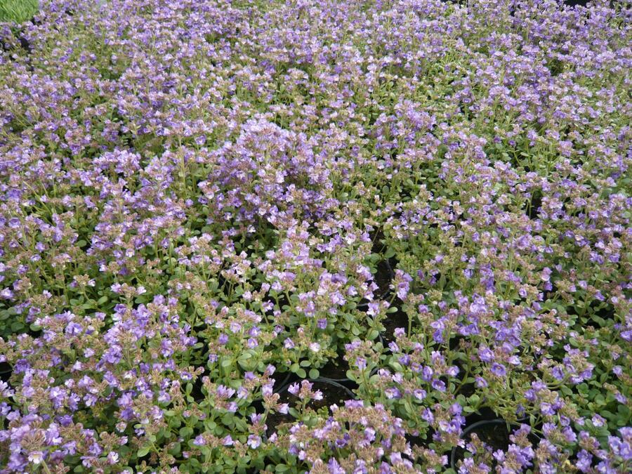 Hledíček 'Dreamcatcher' - Chaenorhinum origanifolium 'Dreamcatcher'