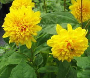 Slunečnice 'Soleil d'Or' - Helianthus decapetalus 'Soleil d'Or'
