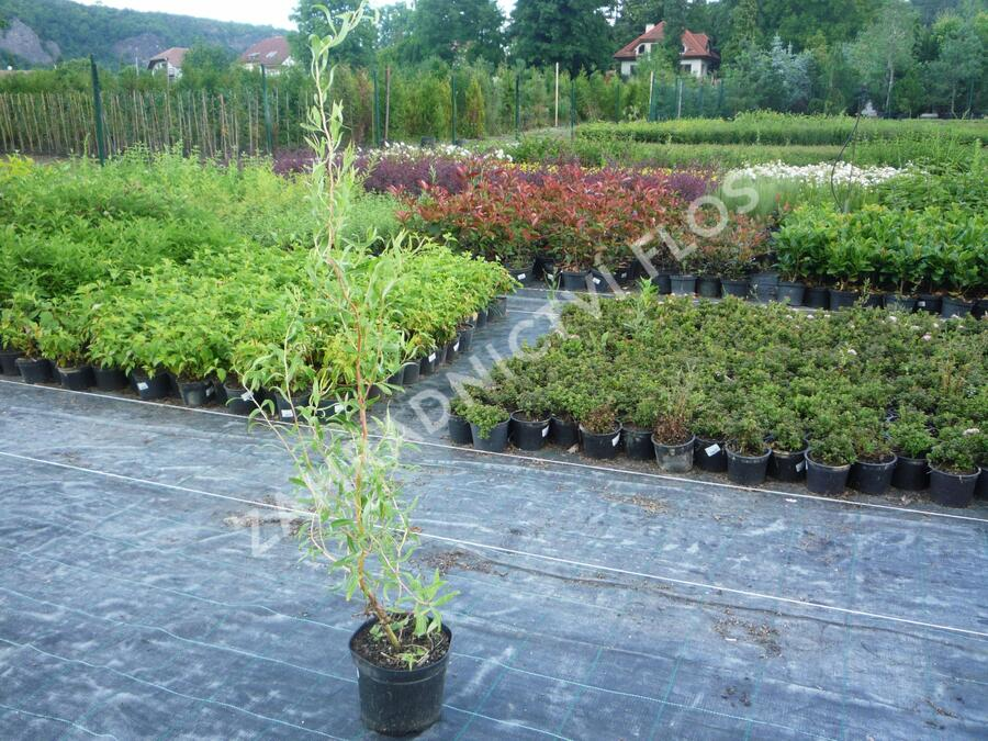 Vrba pokroucená - Salix erythroflexuosa
