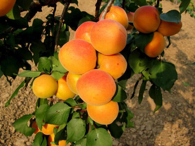 Meruňka středně raná 'Velkopavlovická' - Prunus armeniaca 'Velkopavlovická'
