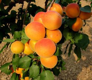 Meruňka - středně raná 'Velkopavlovická' - Prunus armeniaca 'Velkopavlovická'