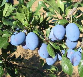 Pološvestka pozdní 'Stanley' - Prunus domestica 'Stanley'