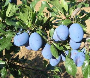 Pološvestka - pozdní 'Stanley' - Prunus domestica 'Stanley'