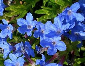 Kamejka 'Heavenly Blue' - Lithodora diffusa 'Heavenly Blue'