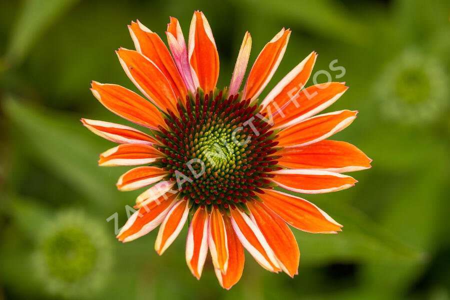 Třapatka nachová 'Papallo Classic Orange' - Echinacea purpurea 'Papallo Classic Orange'