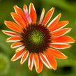 Třapatka nachová 'Papallo Classic Orange' - Echinacea purpurea 'Papallo Classic Orange'