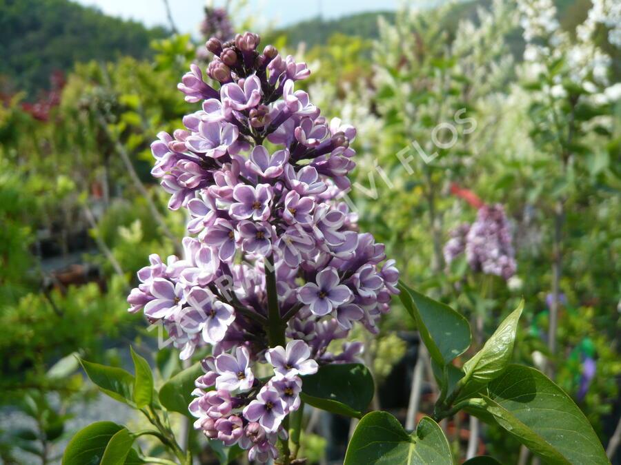Šeřík obecný 'Sensation' - Syringa vulgaris 'Sensation'