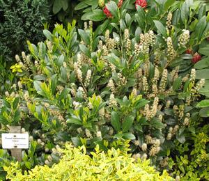 Bobkovišeň lékařská 'Mano' - Prunus laurocerasus 'Mano'