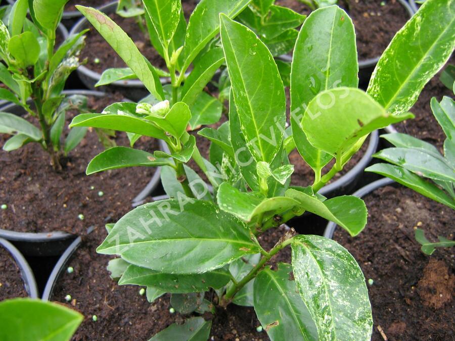 Bobkovišeň lékařská 'Ivory' - Prunus laurocerasus 'Ivory'