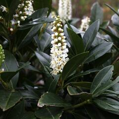 Bobkovišeň lékařská 'Grüner Teppich' - Prunus laurocerasus 'Grüner Teppich'