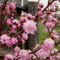 Višeň žlaznatá 'Rosea Plena' - Prunus glandulosa 'Rosea Plena'