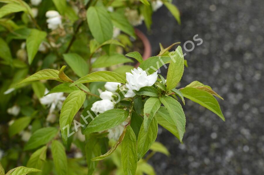 Višeň žlaznatá 'Alba Plena' - Prunus glandulosa 'Alba Plena'