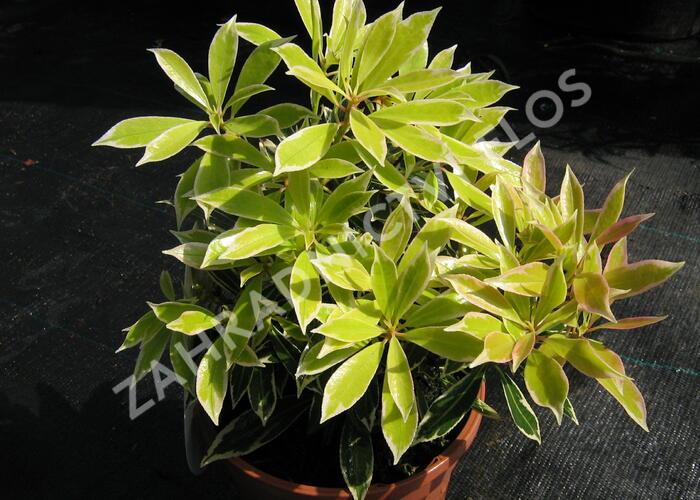 Pieris japonský 'Flaming Silver' - Pieris japonica 'Flaming Silver'