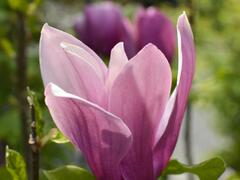 Šácholan hvězdokvětý 'G. H. Kern' - Magnolia stellata 'G. H. Kern'