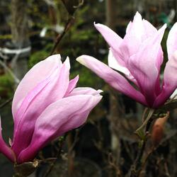 Šácholan 'Betty' - Magnolia 'Betty'